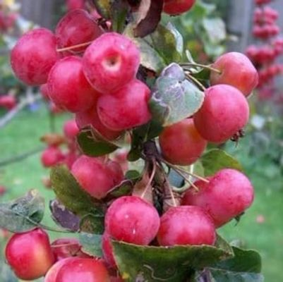 Organic Red Sentinel Crab Apple Tree
