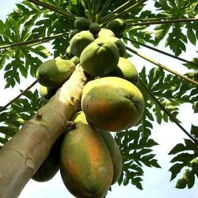 Papaya, Papita ( Grown through seeds ) - Plant
