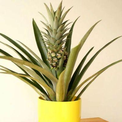 Pineapple, Anannas - Plant