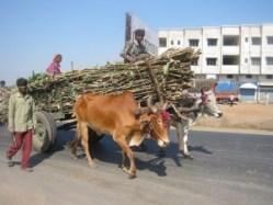 Sugar_cane_bullock_cart2