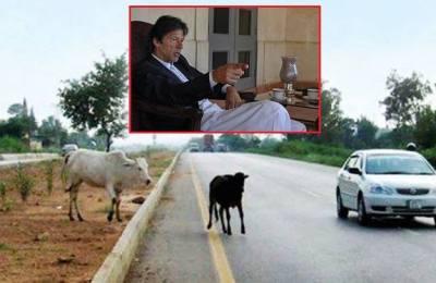 Buffaloes, Bani Gala, PM Imran, Imran Khan, route, fine, Islamabad