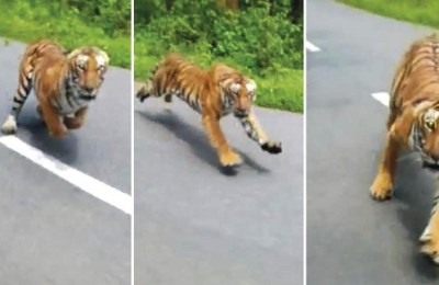 Tiger, chase, India, motorcyclist
