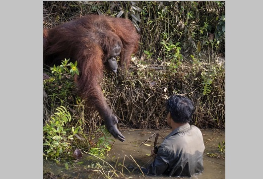 Orangutan, help, man, mud, river, photo