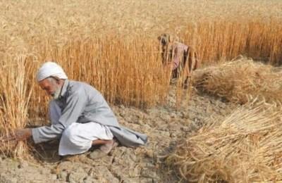 Pakistan, wheat, Syed Fakhr Imam