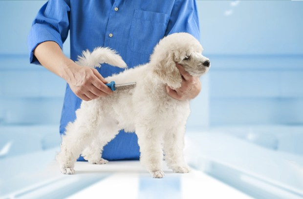 Brush a Poodle