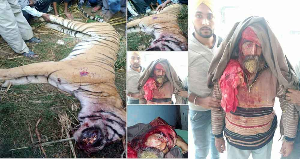 News has come from a poultry farm in Barapur Village near Corbet where a tiger invaded a farm killing about 30 chickens and other animals. Reportedly, the tiger came from the woods nearby and wasn't spotted by any of the villagers.