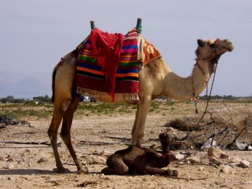 & Then There's The Camel Train!