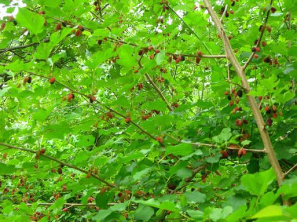 रेशम कीट पालन हेतु शहतूत की खेती कैसे करें, रेशम की खेती की जानकारी 1