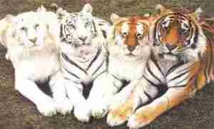 tiger-colors