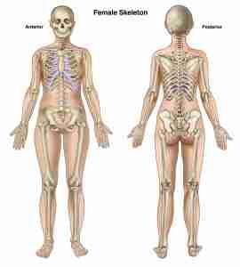 Female-skeleton-Anterior-and-posterior