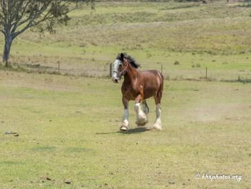 A slow gallop