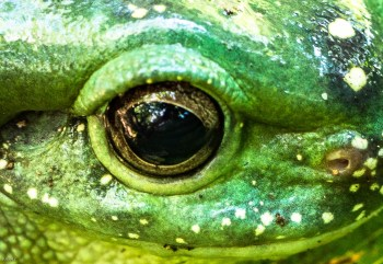 Eye of Magnificent tree frog