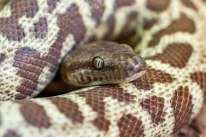 Wheat Belt Stimson's Python