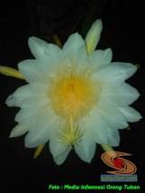 mitos-seputar-bunga-wijaya-kusuma-3