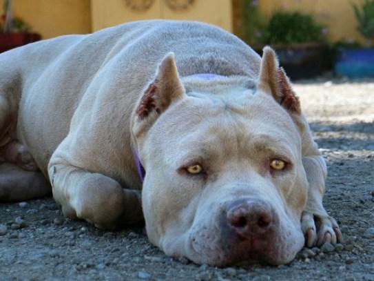 Pit bull-khurki.net