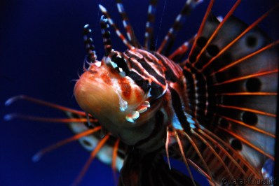 One of my favorite fish to shoot - The majestic Lion Fish