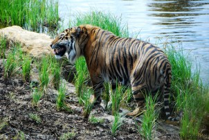 Jae Jae the Sumatran Tiger showing off his fangs for the fans