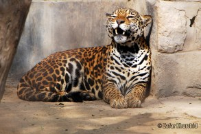 The Indian Jaguar wakes from its nap