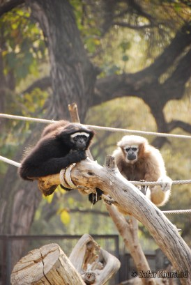 A Bunch of Gibbons