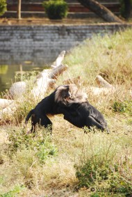 A pair of male Lion-Tailed Macaques sparring against each other