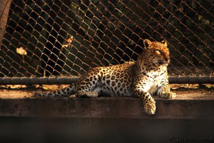 A Leopard enjoying some golden sun rays