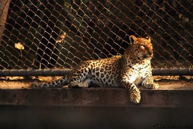 A Leopard enjoying some golden sun rays