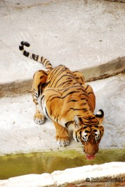 A beautiful and majestic Tiger coming to cool down