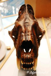 An intimidating Sabre-tooth Cat skull