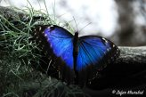 A gorgeous Blue Morpho Butterfly perched on a branch overhead