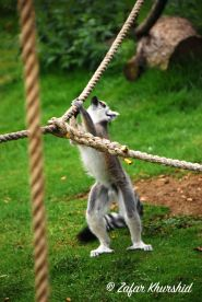 A Ring Tailed Lemur out at play.