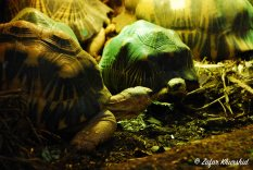 A pair of Radiated Tortoises