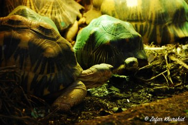 A pair of Radiated Tortoises