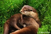 What is this Oriental Small Clawed Otter shielding its friend from?