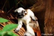 A Cotton Top Tamarin having a cheeky scratch