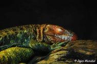 A vividly coloured Caiman Lizard