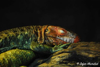 A vividly coloured Caiman Lizard