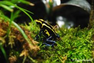 A gorgeous and poisonous two-coloured Dart Frog