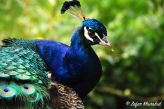 A beautiful Peacock with its vibrant plumage