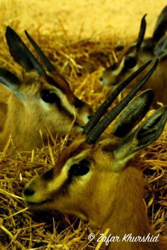 Dorcas Gazelles
