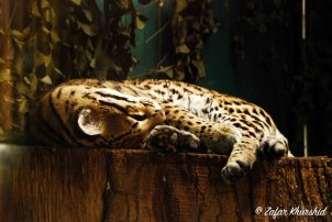 An Ocelot has a nice mid-day nap