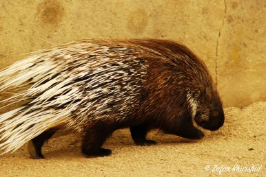 An African Crested Porcupine, just out for a stroll in its enclosure