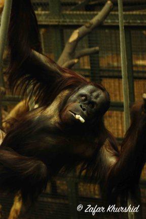 A large Bornean Orangutan just swinging about