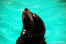 A Sea Lion breaks through the surface of his cool blue pool