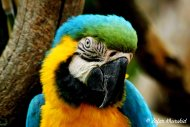 A beautiful Blue and Gold macaw