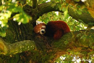 A Red Panda snoozes in the tree home