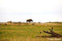 An African White Rhino striking an epic pose on the horizon!