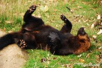 A playful Wolverine tosses about in his enclosure