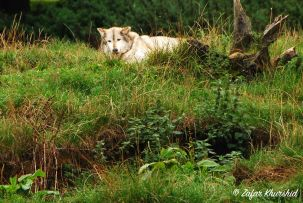 A lone European Wolf snoozes in the sun