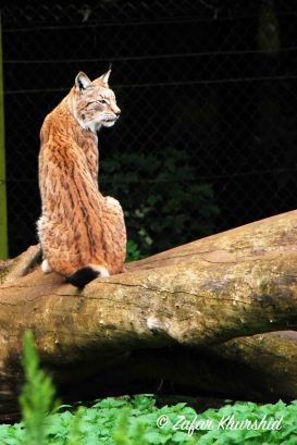 Lynx on a Log