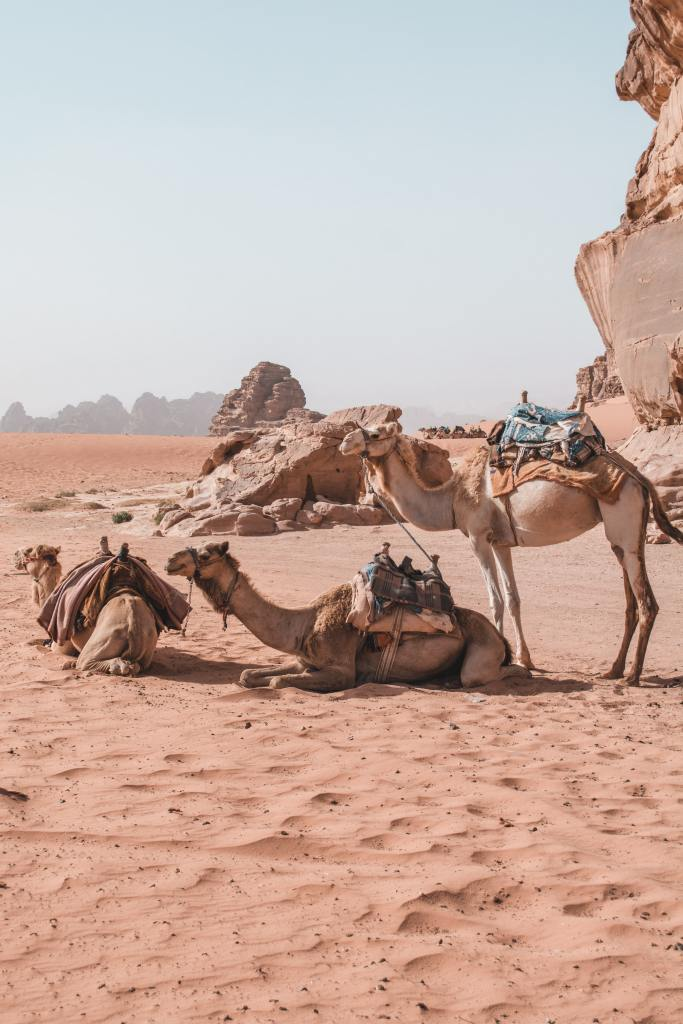 three-camels-resting-in-the-desert